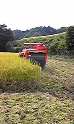 稲刈りなう